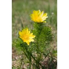 Адонис, Горицвет весенний (целебные травы 50г)