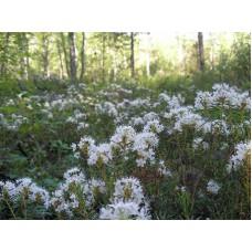 Багульник (целебные травы 50гр)