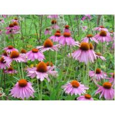 Эхинацея пурпурная (целебные травы 50г)