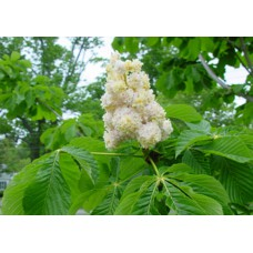 Цвет Каштана конского ( целебные травы 50г)