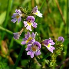 Очанка лекарственная (целебные травы 50 г)