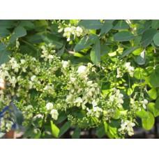 Софора японская (целебные травы 300г)