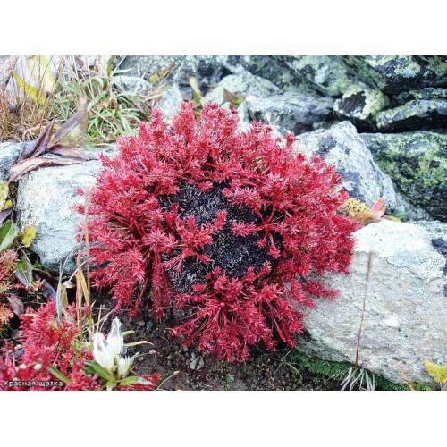 Настойка «Красная щетка» (250 мл)