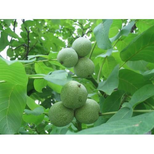 Настойка зеленого грецкого ореха (500 мл)